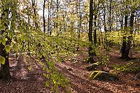 Vår i bøkeskog ved Mosvatnet sentralt i Stavanger kommune, Rogaland.