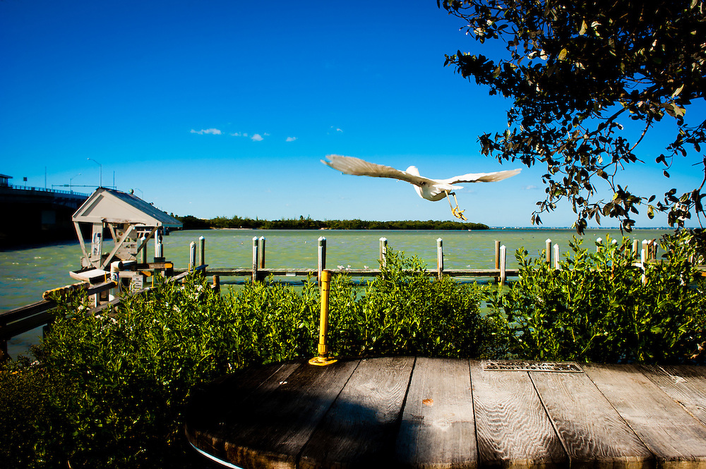 SARASOTA, FL -- October 2012 -- A seabird takes off at New Pass Grill and Bait Shop on City Island in Sarasota, Florida.  (PHOTO / CHIP LITHERLAND)