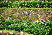 A farmer picks a bundle of calla lilies through a field in Zhuzihi. Located within Yangmingshan National Park, the area is famed for its flower cultivation.
