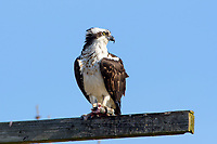 Osprey, Haliaetus pandion, also known as a sea hawk, fish eagle, sea hawk, river hawk, and fish hawk — is a diurnal, fish-eating bird of prey. This one was photographed on the Chesapeake Bay, near Annapolis, Maryland, U.S.A.
