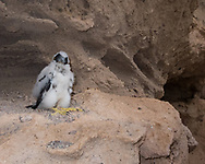 Nestling peregrine falcon, prematurely fledged at about 3 weeks of age by an unknown cause, was lifted to ledge by observer to give him some protection from ground predators. The adults continued to care for him. © 2015 David A. Ponton