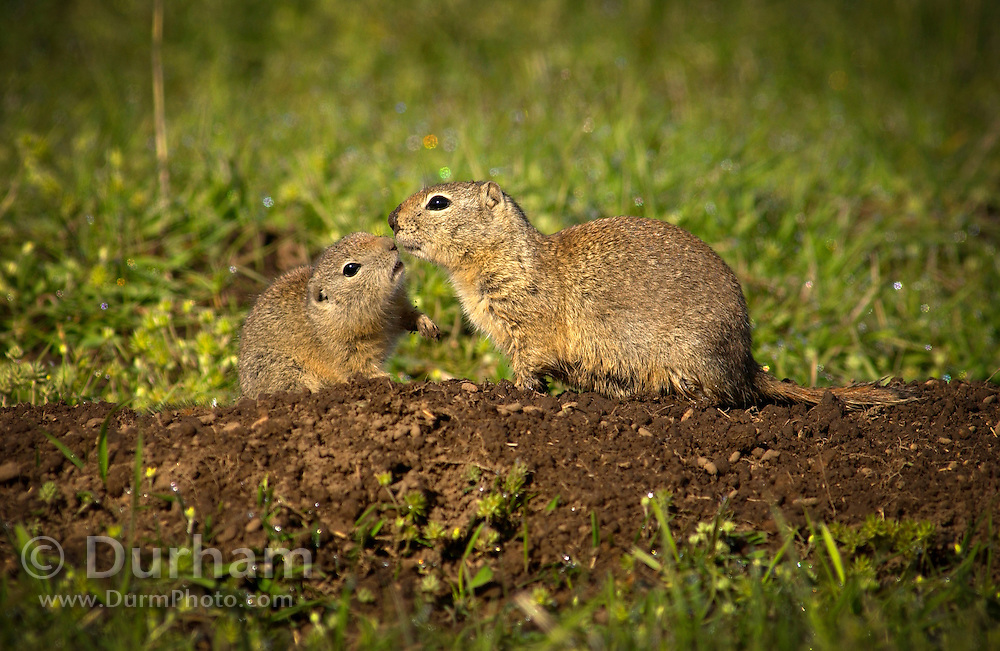 """A belding ground squirrel pup nuzzles up to his mother on The Nature Conservancy's Zumwalt Prairie Preserve. The pups first emerged from their burrow the previous week. Called locally """"red diggers"""", they provide a food source for one of tha largest concentrations of breeding raptors in North America."""