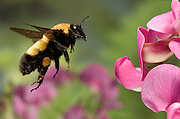This large bumble bee is a queen of the species Bombus morrisoni. She is flying toward sweet pea flowers in the Deschutes National Forest, Oregon. Please note: this image has been digitally altered. two additional insects (only partially in frame) were removed from the background. The original camera file is available upon request.