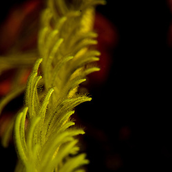 Crinoid, Feather Star, unknown