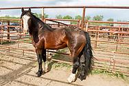 Saddle Bronc, James Bond, Miles City Bucking Horse Sale, rodeo, Montana