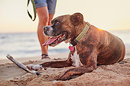 A happy, pet boxer dog lays on the beach at sunset after a rigorous game of fetch.