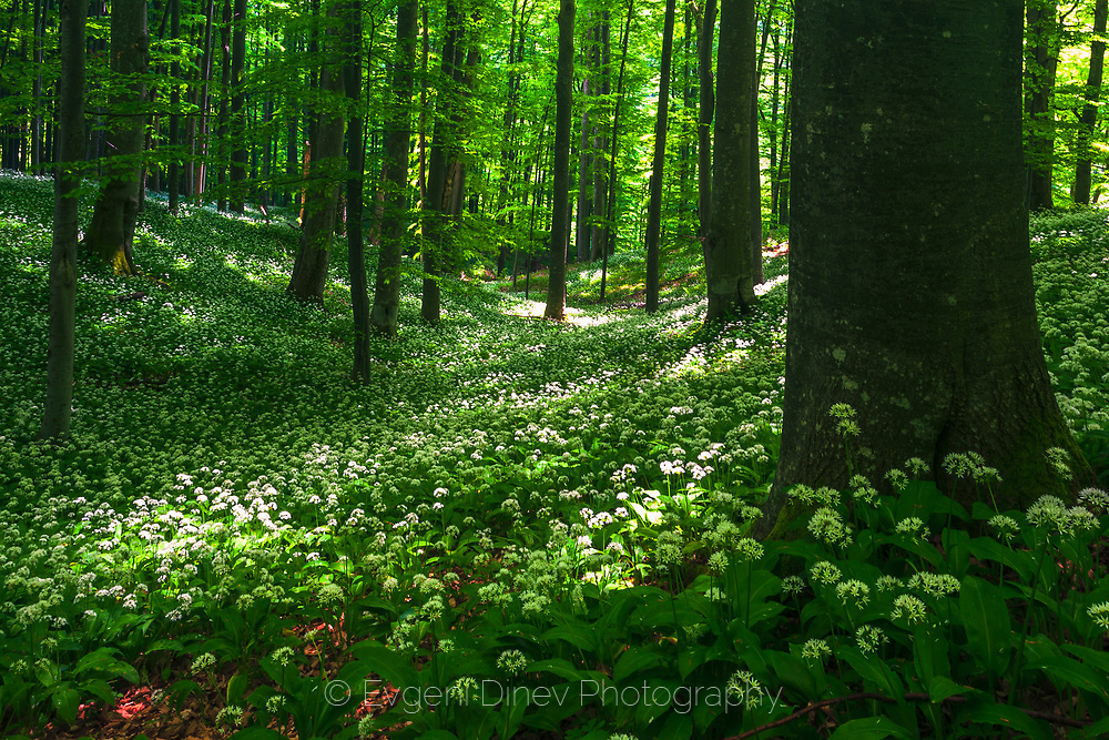 Ramsons in the forest