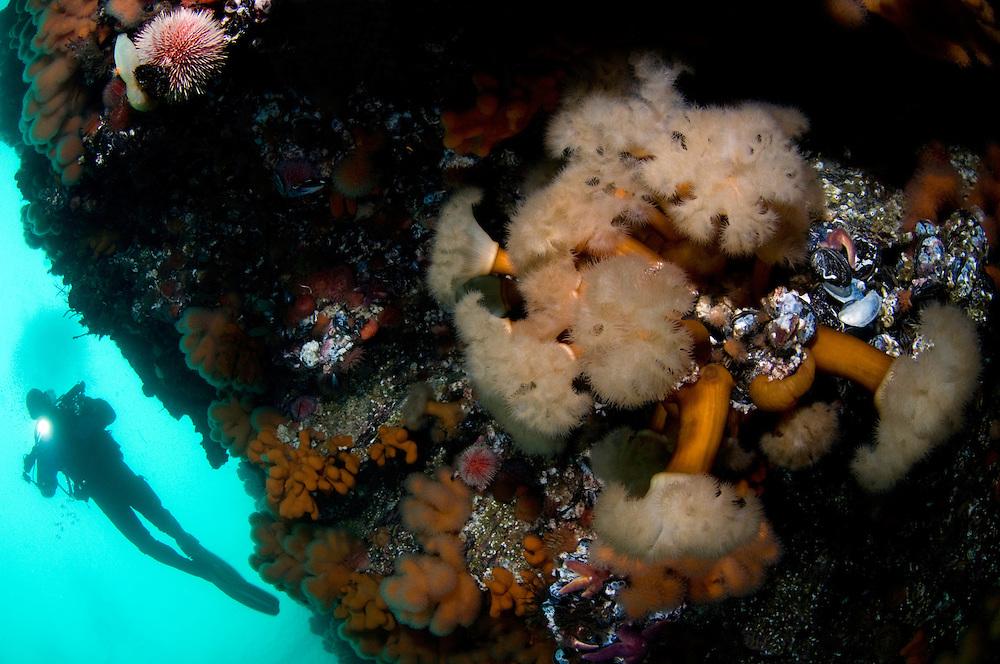 Plumose anemone, Metridium senile, and Klas Malmberg<br /> Atlantic marine life, Saltstraumen, Bod&ouml;, Norway<br /> Model release by photographer