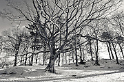 Winter tree, with snow, Cockshot Point, Bowness Bay, Windermere, Lake District, Cumbria, UK