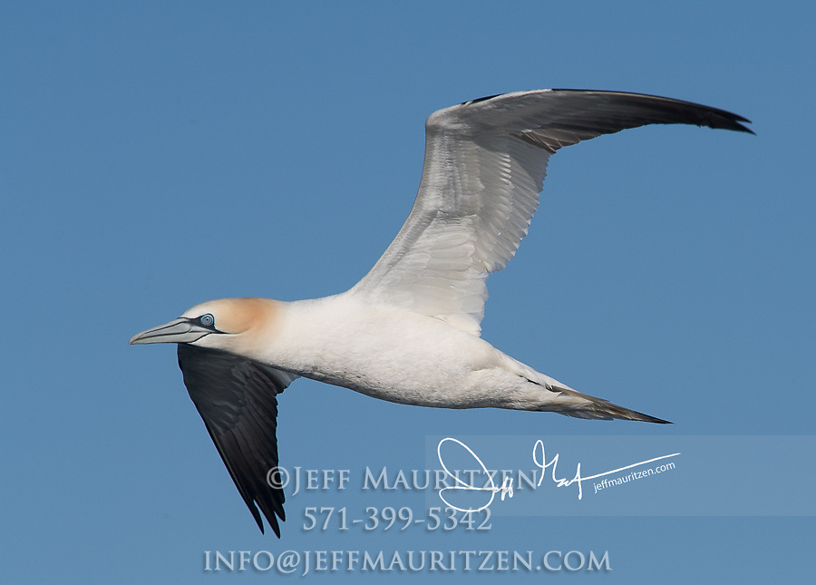A lone Northern gannet in flight.