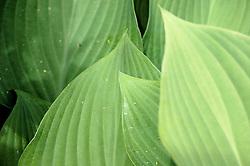 Study #2: Hosta Leaf Lines