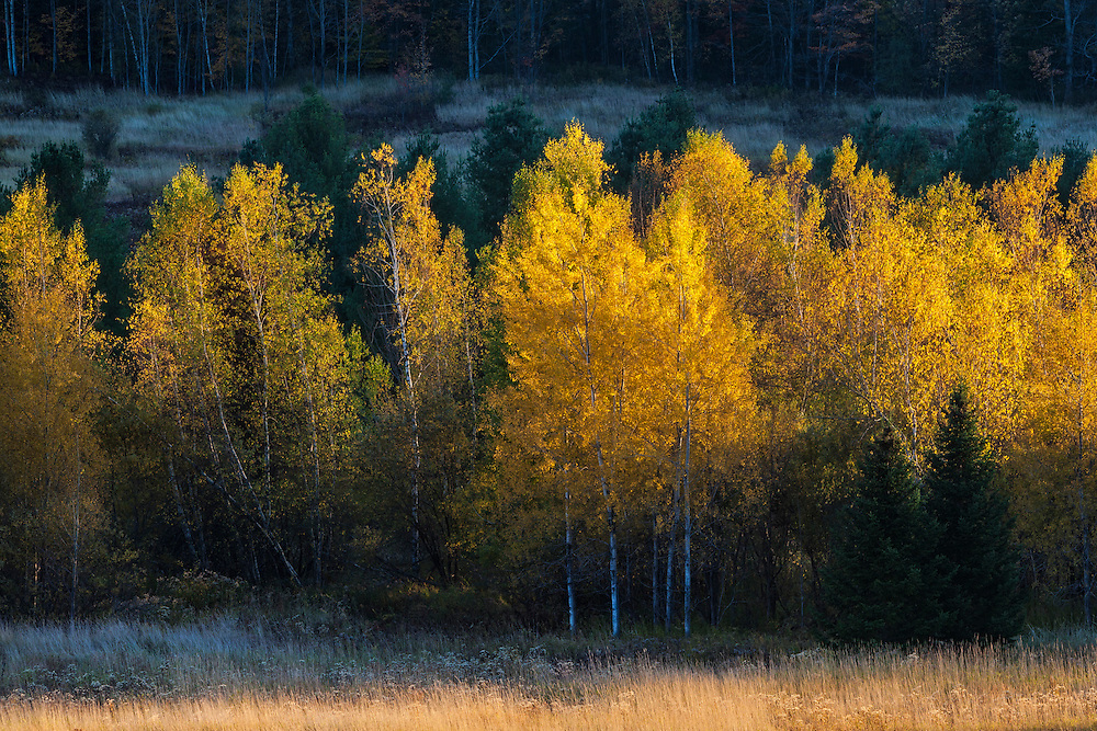 glowing yellow aspens in autumn, Middlesex, Vermont