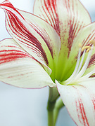 Hippeastrum 'Ambiance'