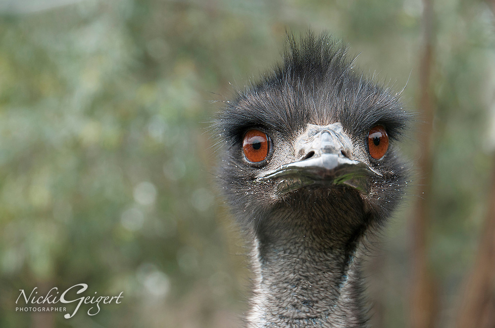 Emu closeup portrait, big ostrich head. Wildlife and nature photography wall art. Fine art photography prints, stock images.