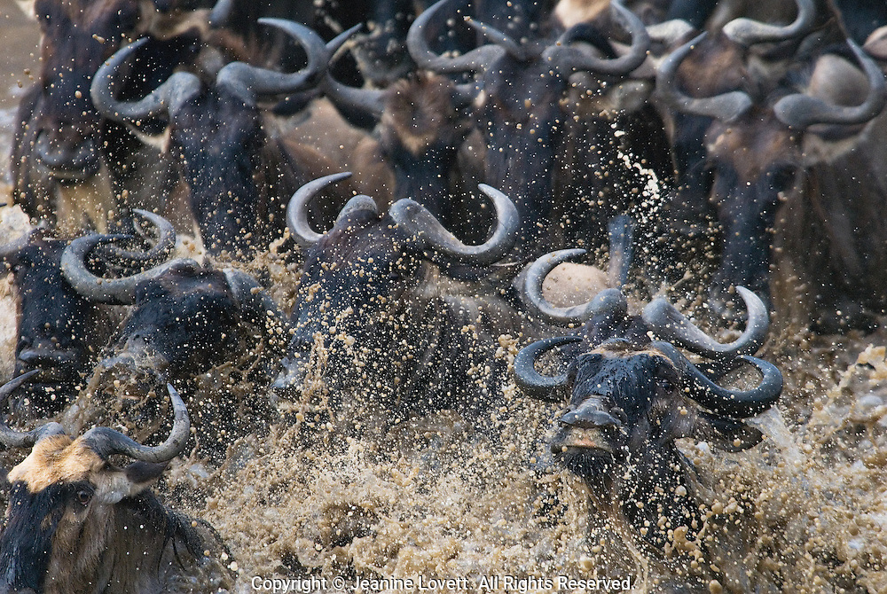 Annual migration of the wildebeest creates a massive surge cross the river. The wildebeest have an intense look because they are afraid of the crocodiles waiting for them to cross.