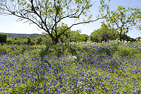 Texas Bluebonnets (Lupinus texensis), Willow City Loop, Gillespie County, Texas