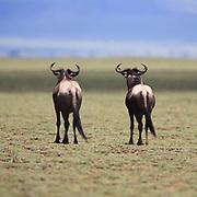 Wildebeast migrating the Serengeti