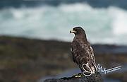 A Galapagos hawk perches on a rock on Fernandina island in the Galapagos archipelago of Ecuador.