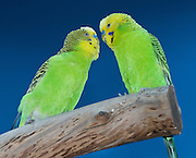 The budgerigar (Melopsittacus undulatus) (also called parakeet, shell parakeet, or budgie), is the only species in the Australian genus Melopsittacus. This small parrot belongs to the tribe of the broad-tailed parrots (Platycercini), which are sometimes considered a subfamily (Platycercinae). Though budgerigars are often called Parakeets, especially in American English, this term refers to any of a number of small parrots with long flat tails. The budgerigar is found throughout the drier parts of Australia and has survived for the last five million years in the harsh inland conditions.