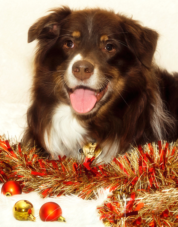 Cowboy, a six-year-old, red tri Australian Shepherd, poses for a Christmas portrait,Dec. 26, 2014, in Coden, Alabama. (Photo by Carmen K. Sisson/Cloudybright)