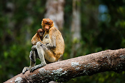 A curious infant proboscis or long-nosed monkey (Nasalis larvatus) poses and looks into the camera for a brief moment from the safety of his mothers arms, Borneo, Indonesia