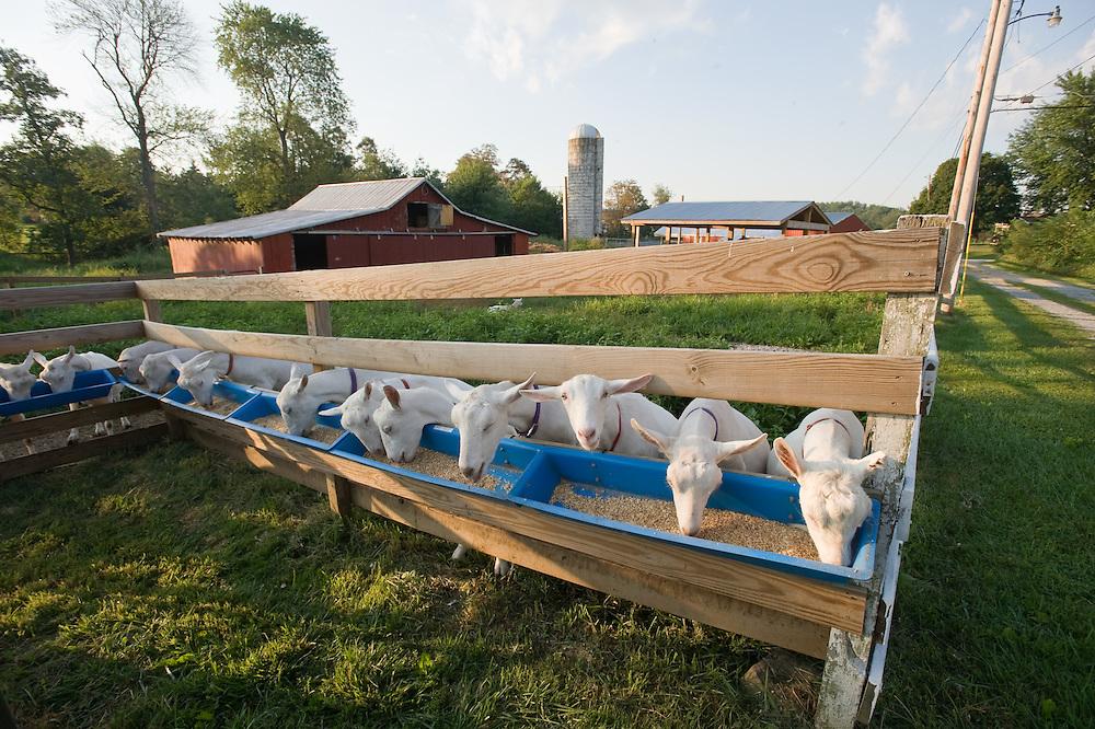 Goats at feedbox on a farm