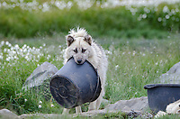 Greenlandic sleddog with water bowl in mouth in Sisimiut are pure bred sled dogs and by law no other breeds are allowed in Northwest Greenland to protect their genetic purity.