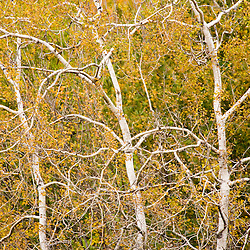 Quaking aspen trees, Populus tremuloides, on the edge of a hay field on a farm in Scarborough, Maine.  Fall.