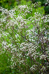 Anthriscus sylvestris 'Ravenswing' - Black - leaved Cow parsley