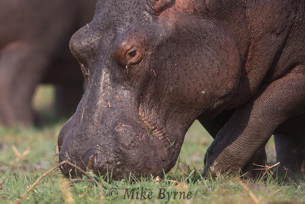 Hippopotamus in Chobe National Park, Botswana.