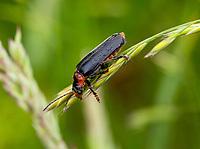 HALFWEG - zwartpoot soldaatje. insecten op de golfbaan , Amsterdamse Golf Club. (AGC)  . Insecteninventarisatie  COPYRIGHT KOEN SUYK