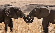 Two elephants (Loxondonta africana)  greeting each other in Tarangire National Park, Manyara Region, Tanzania, Africa