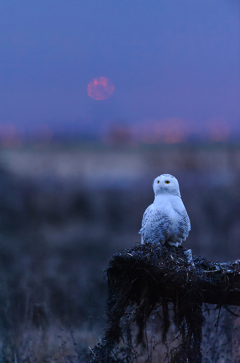 A snowy owl in the early morning light, Pacific Northwest