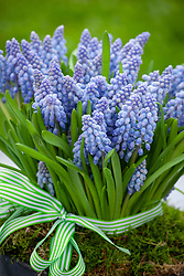 Muscari - grape hyacinths - in a pot tied with a ribbon.