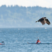 An osprey (Pandion haliaetus) hunts for food along Alki Beach on May 7, 2009.  These birds plunge at high speeds into the sea after prey.  Photo by William Byrne Drumm.