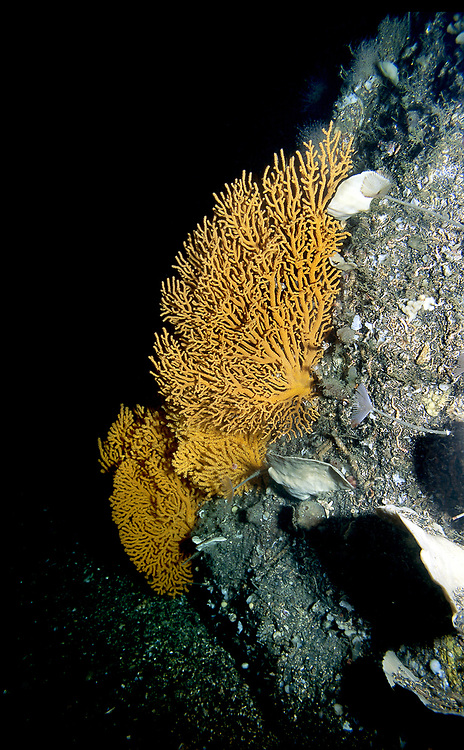 Gorgonia fan (Paramuricea placomus) is a deep water coral found in the cold water in the Norwegian fjords .   Location: Trondheimsfjorden, Norway