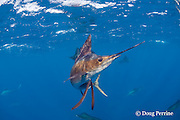Atlantic sailfish, Istiophorus albicans, hunting sardines off Yucatan Peninsula, Mexico ( Caribbean Sea )
