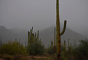 Winter storms brought rain to Saguaro National Park West, Sonoran Desert, Tucson, Arizona, USA.