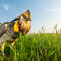 "A male Attwater's Prairie-Chicken (Tympanuchus cupido attwateri) nickname ""Sampson"" defenses his booming ground from intruder including human and car that comes nearby his territory.  Attwater's Prairie Chicken (Tympanuchus cupido attwateri) is a highly endangered subspecies of the Greater Prairie Chicken that is native to coastal Texas and Louisiana in the United States."