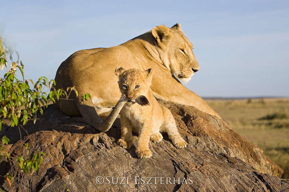 Lion<br /> Panthera leo<br /> 7-8  week old cub playing with its mother's tail<br /> Masai Mara Reserve, Kenya