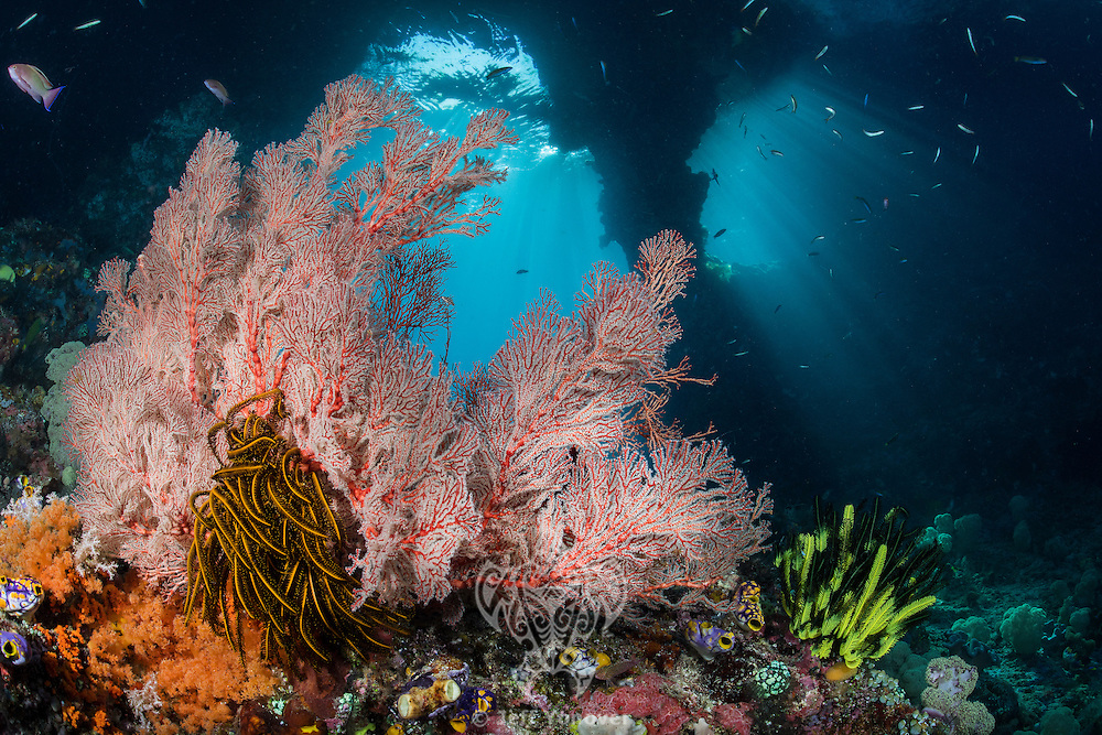 Soft Corals and Gorgonians thriving under the submerged arches at Bo'o Windows<br /> <br /> Shot in Raja Ampat Marine Protected Area West Papua Province, Indonesia