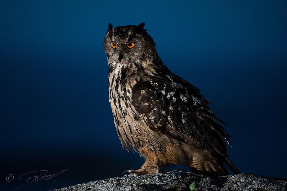 Hubro opplyst av blits sittende på berg ved havet i Rogaland. Denne store ugla er sterkt nattaktiv.