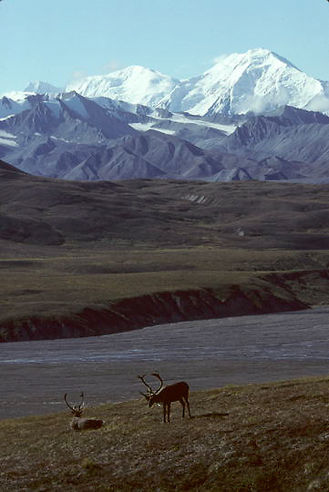 Denali National Park, pair of caribou resting on tundra, backdrop of snow covered Mount McKinley. Fall.  Alaska.