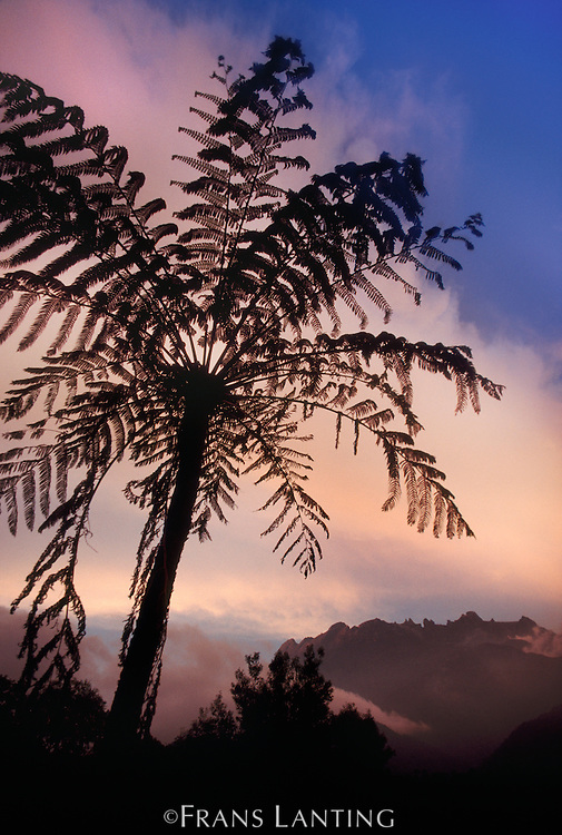 Tree fern, Mt Kinabalu National Park, Sabah, Borneo