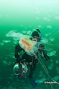 diver Nathan Meadows and lion's mane jellyfish, Cyanea capillata,  swimming through swarm or aggregation of moon jellies, Aurelia labiata, Port Fidalgo, Alaska ( Prince William Sound ) MR 422