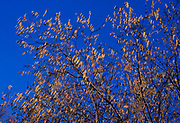 A87CYA Silver Birch tree with catkins