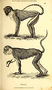 Mona and Spotted Monkey from General zoology, or, Systematic natural history Part I, by Shaw, George, 1751-1813; Stephens, James Francis, 1792-1853; Heath, Charles, 1785-1848, engraver; Griffith, Mrs., engraver; Chappelow. Copperplate Printed in London in 1800. Probably the artists never saw a live specimen