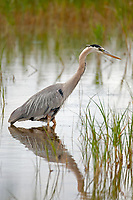 A Great Blue Heron fishes for minnows in a local marsh.