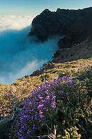 Verbena sp.  Sea clouds in  La Caldera de Taburiente National Park, La Palma Island, Canary Islands Spain.