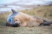 Donna Nook, Lincolnshire, UK – Nov 15: A grey seal come ashore for birthing season lies on the grass on 15 Nov 2016 at Donna Nook Seal Santuary, Lincolnshire Wildlife Trust